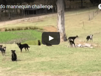 Dogs Do Mannequin Challenge