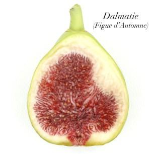 Dalmatie 2.2