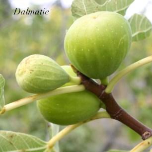 Dalmatie 5.1