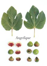 angelique-1p