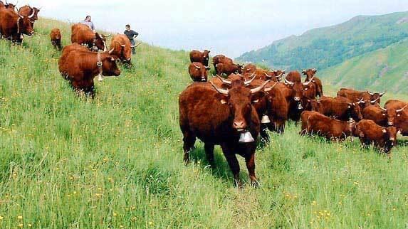 Krava je sesalec, zato njeno tkivo sodi med rdeče meso. Seveda po tem, ko odraste.