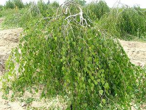 Берёза карликовая — что за растение, где она растёт ...