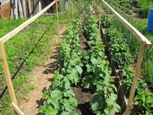 Выращивание огурцов в открытом грунте — сложное и приятное занятие. Процесс завязывания и роста огурцов