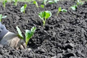 Сроки высадки капусты в открытый грунт