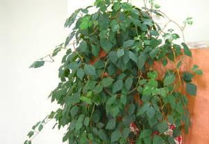 Комнатное растение березка: как правильно выращивать и ...