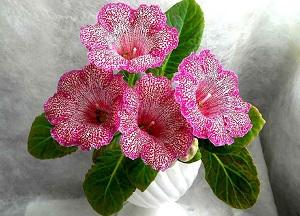 Цветущие комнатные цветы: фото и названия, общие ...