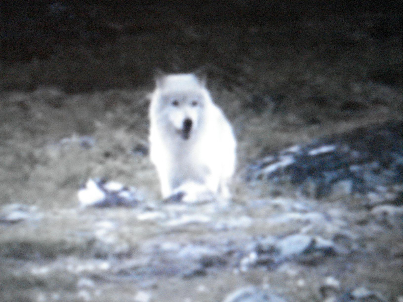 El lobo blanco elige su presa, y caza un caribú pequeño.