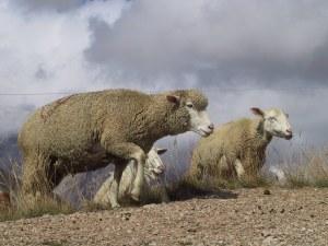 moutons mérinos qui courent