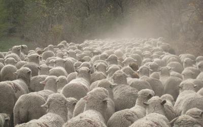 Combien faut-il de moutons pour faire un pull ?