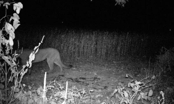 TWRA confirms...it's a cougar (mountain lion), page 1