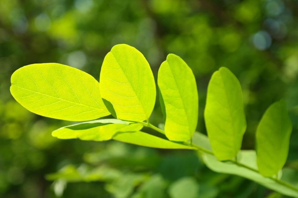 Acácia como planta medicinal