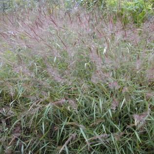 Capim gordura:  planta para pasto também é utilizada de forma medicinal