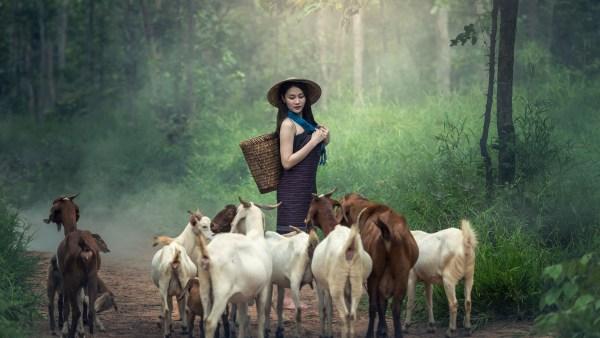 Caprino boer é raça de destaque na caprinocultura brasileira