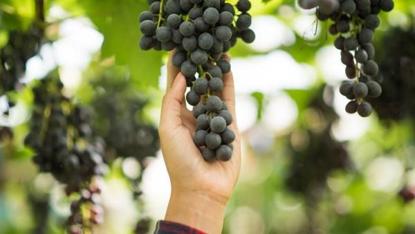 Cepa: entenda sua utilização na colheita e na fermentação