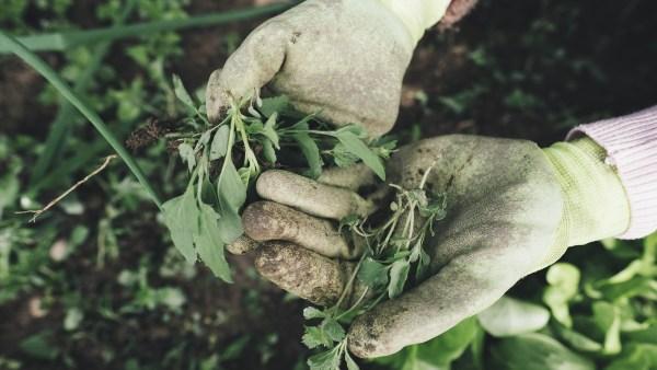 Erva daninha pode prejudicar produtividade agrícola