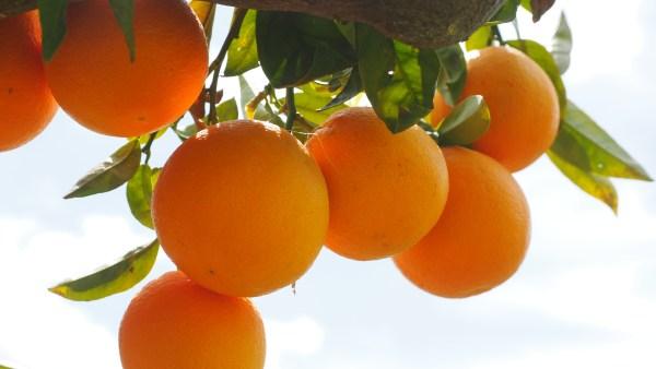 Greening atinge pomares e ameça a safra da laranja