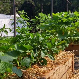 Horta orgânica: entenda a sua diferença das demais