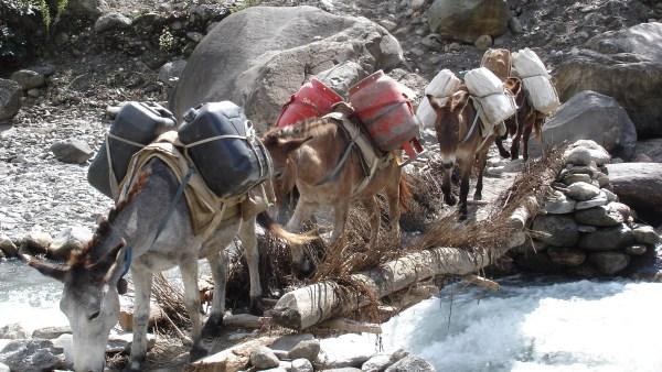 Muares destacam a força e resistência dos animais de carga