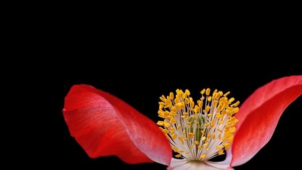 Pistilo é órgão essencial para a reprodução e proliferação das plantas