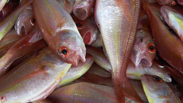 Piscicultura permite oportunidades diversas de criação de peixes