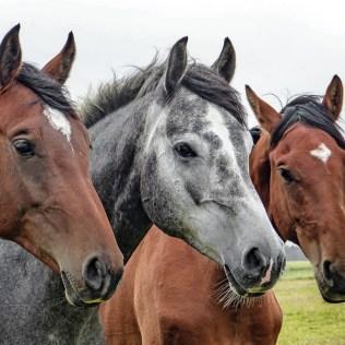 Raças de cavalo: Brasil é o quarto maior mercado da equinocultura