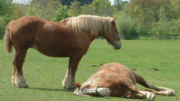 Cavalo bretão é forte e requisitado na pecuária brasileira