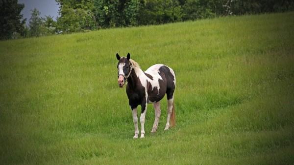Cavalo pampa já foi discriminado por criadores