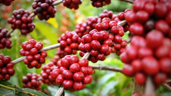 Ciclo do café e seu impacto na cafeicultura brasileira