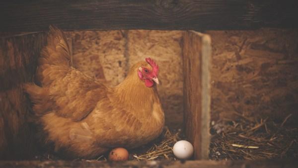 Granja e a sua importante função no mundo da avicultura