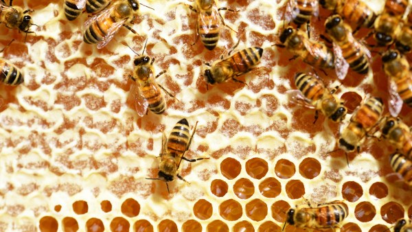 Favo é estrutura construída e utilizada pelas abelhas dentro das colmeias