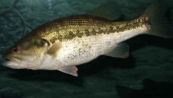 Black bass e as características que o destacam na pesca esportiva