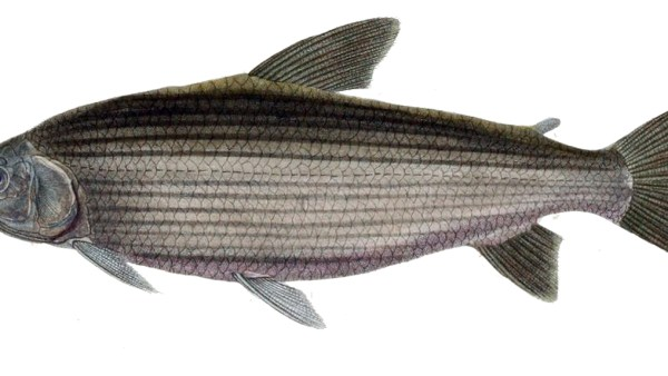 Curimba é peixe popular para criação, culinária e pesca esportiva
