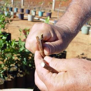 Enxertia é técnica importante para a produtividade na fruticultura