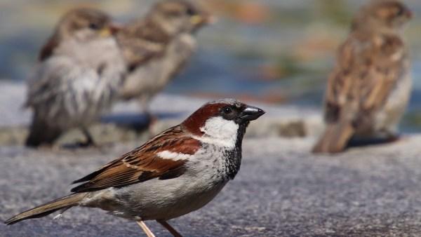 Pardal é espécie popular nas áreas urbanas do Brasil