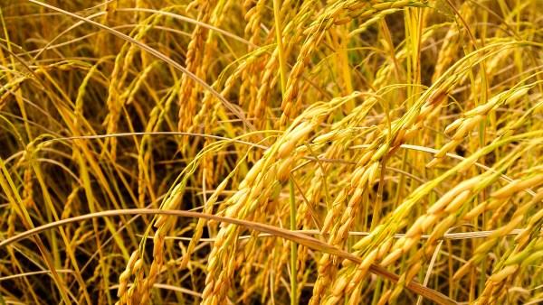 Plantação de arroz auxilia na economia dos países desenvolvidos