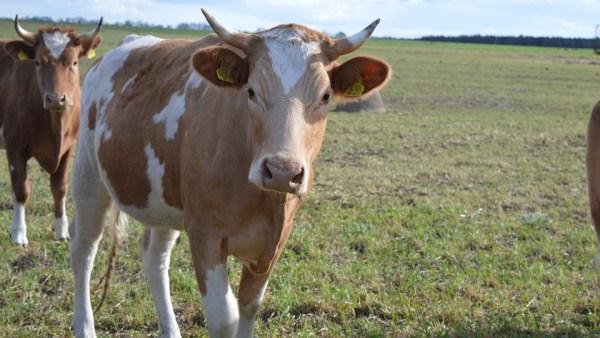 Simental é gado suíço de carne marmorizada e saborosa