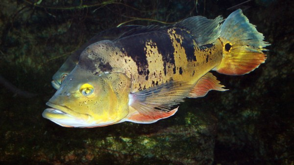 Tucunaré é referência de desafio na pesca esportiva