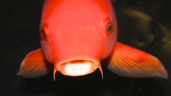 Carpa é espécie de peixe de fácil criação e alto rendimento