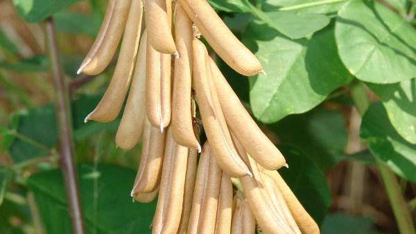 Crotalária é o grupo de plantas que ajuda a fixar nitrogênio no solo