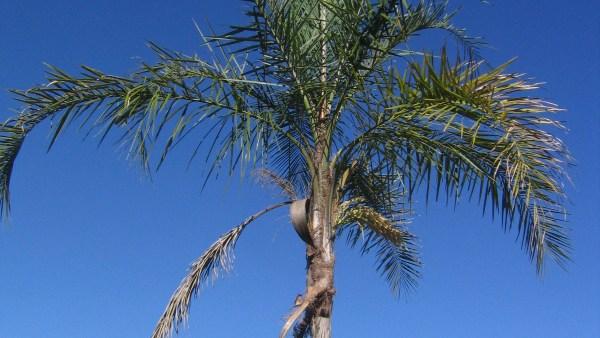 Guariroba é palmeira nativa do Brasil com diferentes possibilidades de uso