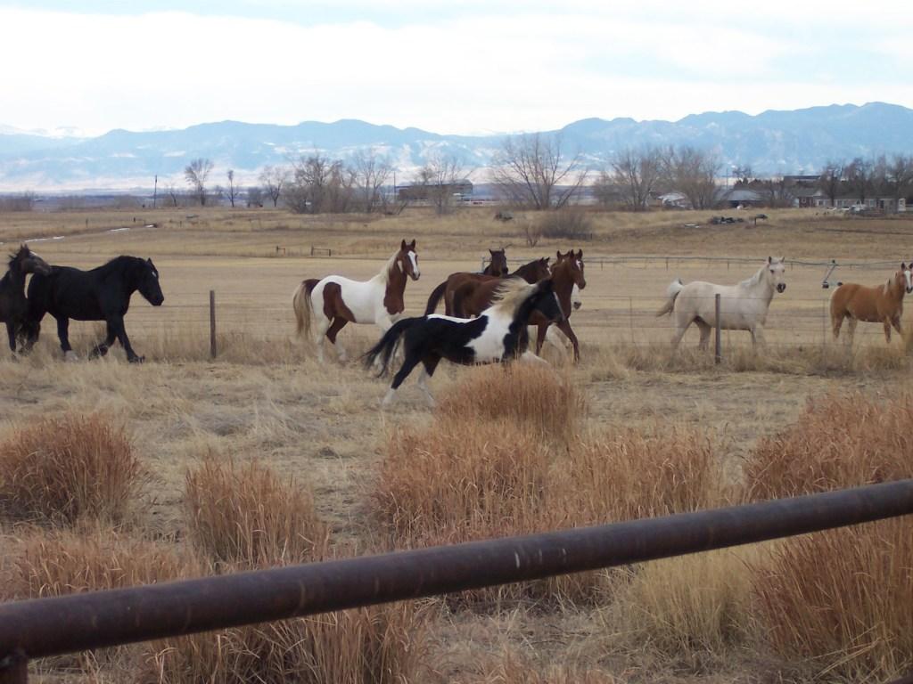 Paint Horse: raças de cavalo
