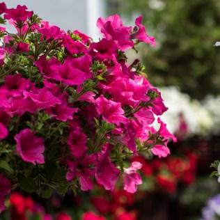 Petúnia é flor que dá vida aos jardins durante o verão e a primavera