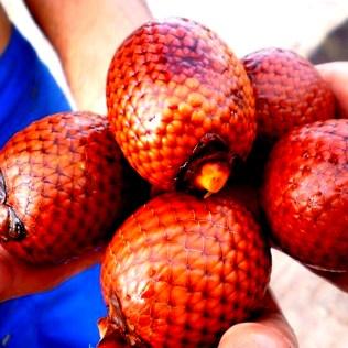 Buriti é uma espécie brasileira conhecida como árvore da vida