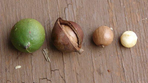 Macadâmia é muito cultivada, mas pouco conhecida no Brasil