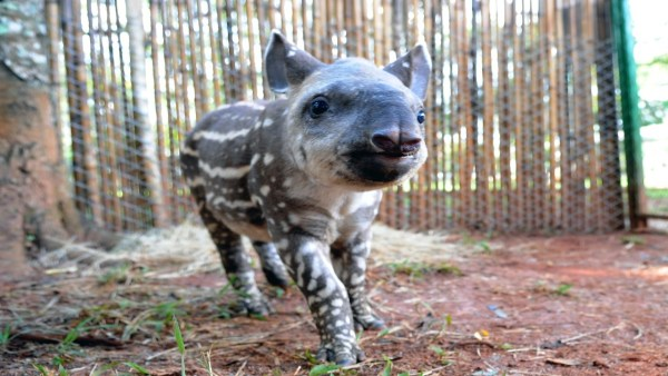 Anta é o maior mamífero terrestre que habita o território Brasileiro