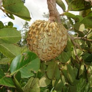 Araticum tem poderes medicinais e frutos saborosos