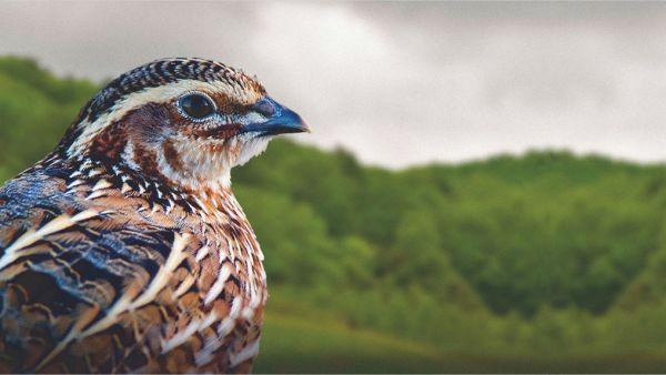 Codorna é ave cada vez mais popular e de ótima reprodução