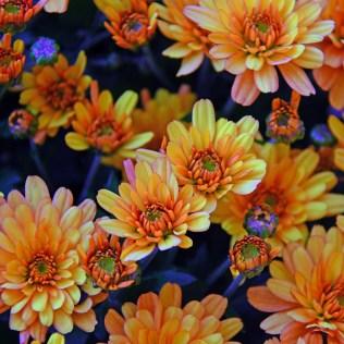 Crisântemo é uma flor de propriedades inseticidas e símbolo do Japão