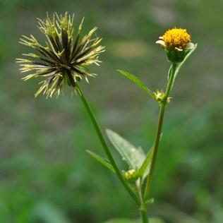 Picão é planta que possui diversas indicações fitoterápicas
