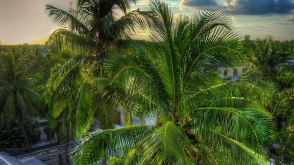 Folha de coqueiro é utilizada na construção de abrigos e em artesanatos